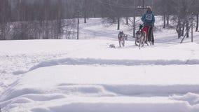 Ζευγάρι των γεροδεμένων σκυλιών ελκήθρων με τον σκυλί-οδηγό απόθεμα βίντεο