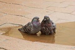 Ζευγάρι των γκρίζων περιστεριών που κολυμπούν σε μια λακκούβα στην οδό Τα πουλιά λούζουν στο νερό στις πλάκες επίστρωσης στη βροχ στοκ φωτογραφίες με δικαίωμα ελεύθερης χρήσης
