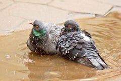 Ζευγάρι των γκρίζων περιστεριών που κολυμπούν σε μια λακκούβα στην οδό Τα πουλιά λούζουν στο νερό στις πλάκες επίστρωσης στη βροχ στοκ εικόνες