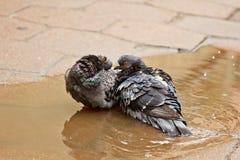 Ζευγάρι των γκρίζων περιστεριών που κολυμπούν σε μια λακκούβα στην οδό Τα πουλιά λούζουν στο νερό στις πλάκες επίστρωσης στη βροχ στοκ φωτογραφία με δικαίωμα ελεύθερης χρήσης