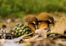 Ζευγάρι των εδώδιμων boletuses στα ξηρά φύλλα Στοκ Εικόνες