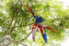 Ζευγάρι των ερυθρού macaws, Ara Μακάο ή Arakanga Στοκ Φωτογραφίες