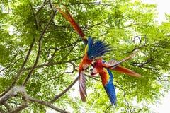 Ζευγάρι των ερυθρού macaws, Ara Μακάο ή Arakanga Στοκ Εικόνα