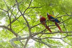 Ζευγάρι των ερυθρού macaws, Ara Μακάο ή Arakanga Στοκ φωτογραφία με δικαίωμα ελεύθερης χρήσης