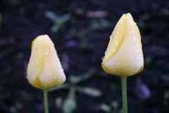 Ζευγάρι των κίτρινων τουλιπών Στοκ Εικόνες