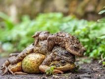Ζευγάρι των κοινών βατράχων, temporaria Rana, με τον αρσενικό κοινό φρύνο, bufo Bufo Άνοιξη, Σκωτία στοκ εικόνα με δικαίωμα ελεύθερης χρήσης