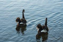 Ζευγάρι των μαύρων κύκνων φλερταρίσματος Στοκ εικόνα με δικαίωμα ελεύθερης χρήσης