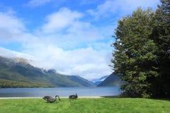 Ζευγάρι των μαύρων λιμνών του Nelson κύκνων, κύκνος της Νέας Ζηλανδίας Στοκ εικόνα με δικαίωμα ελεύθερης χρήσης