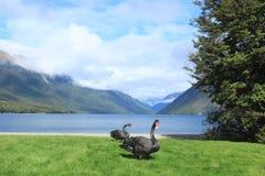 Ζευγάρι των μαύρων λιμνών του Nelson κύκνων, κύκνος της Νέας Ζηλανδίας Στοκ φωτογραφία με δικαίωμα ελεύθερης χρήσης