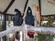 Ζευγάρι των μαύρων πουλιών στοκ φωτογραφία με δικαίωμα ελεύθερης χρήσης