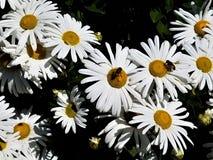 Ζευγάρι των μελισσών στις άσπρες μαργαρίτες στοκ εικόνα με δικαίωμα ελεύθερης χρήσης