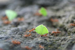 Ζευγάρι των μυρμηγκιών που εργάζονται στην ομάδα Στοκ εικόνες με δικαίωμα ελεύθερης χρήσης