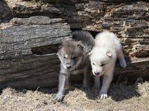 Ζευγάρι των νέων κουταβιών λύκων ξυλείας Στοκ εικόνα με δικαίωμα ελεύθερης χρήσης