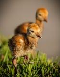 Ζευγάρι των νεοσσών γερανών sandhill Στοκ φωτογραφία με δικαίωμα ελεύθερης χρήσης