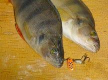 Ζευγάρι των περκών Στοκ εικόνα με δικαίωμα ελεύθερης χρήσης