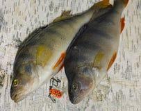 Ζευγάρι των περκών Στοκ φωτογραφία με δικαίωμα ελεύθερης χρήσης