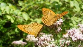 Ζευγάρι των πεταλούδων Στοκ φωτογραφία με δικαίωμα ελεύθερης χρήσης