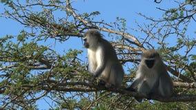 Ζευγάρι των πιθήκων Vervet σε ένα δέντρο φιλμ μικρού μήκους