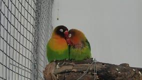 Ζευγάρι των πουλιών αγάπης σε έναν κλάδο φιλμ μικρού μήκους