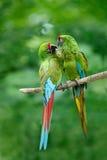 Ζευγάρι των πουλιών, πράσινος παπαγάλος στρατιωτικό Macaw, militaris Ara, Κόστα Ρίκα Στοκ εικόνα με δικαίωμα ελεύθερης χρήσης