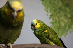 Ζευγάρι των πράσινων και κίτρινων parakeets Στοκ Εικόνα