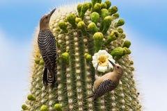 Ζευγάρι των δρυοκολαπτών Gila Στοκ Εικόνες