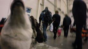 Ζευγάρι των σκυλιών που βλέπουν αγωνιωδώς τους ανθρώπους που περπατούν κοντά, λατρευτά κατοικίδια ζώα στην έκθεση απόθεμα βίντεο