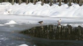 Ζευγάρι των χήνων στη λίμνη το χειμώνα φιλμ μικρού μήκους