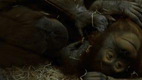 Ζευγάρι των χιμπατζών απόθεμα βίντεο