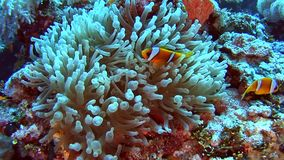 Ζευγάρι των ψαριών anemone στην τροπική θάλασσα στην κοραλλιογενή ύφαλο απόθεμα βίντεο