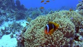 Ζευγάρι των ψαριών anemone στην τροπική θάλασσα στην κοραλλιογενή ύφαλο φιλμ μικρού μήκους