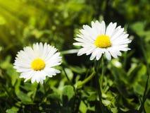 Ζευγάρι των όμορφων άσπρων λουλουδιών Στοκ εικόνες με δικαίωμα ελεύθερης χρήσης
