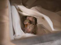 Ζευγάρι των lovebirds που στηρίζεται σε ένα κιβώτιο closeup στοκ εικόνες με δικαίωμα ελεύθερης χρήσης