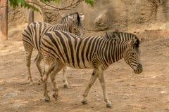 Ζευγάρι των zebras Στοκ Φωτογραφία