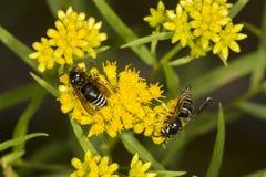 Ζευγάρι φαλακρού που αντιμετωπίζεται hornets στην ΑΜ Sunapee, Νιού Χάμσαιρ Στοκ εικόνα με δικαίωμα ελεύθερης χρήσης
