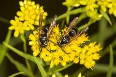 Ζευγάρι φαλακρού που αντιμετωπίζεται hornets στην ΑΜ Sunapee, Νιού Χάμσαιρ Στοκ εικόνες με δικαίωμα ελεύθερης χρήσης