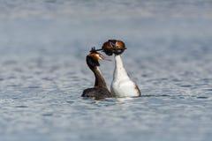 Ζευγάρι χορού cristatus grebes ζευγαρώματος του μεγάλου λοφιοφόρου podiceps Στοκ φωτογραφία με δικαίωμα ελεύθερης χρήσης