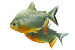 Ζευγάρι ψαριών Tambaqui Στοκ Εικόνες