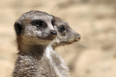 ζευγάρι 02 meerkats Στοκ Φωτογραφίες