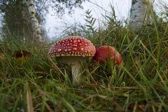 Ζευγάρι Amanita των μανιταριών Στοκ φωτογραφία με δικαίωμα ελεύθερης χρήσης