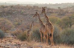 Ζευγάρι giraffes που περπατούν ελεύθερο Στοκ Εικόνες