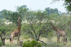 Ζευγάρι giraffes που τρώνε στις άγρια περιοχές στοκ εικόνα