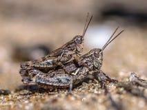 Ζευγάρι Grasshopper βόρειων νησιών Στοκ Εικόνα