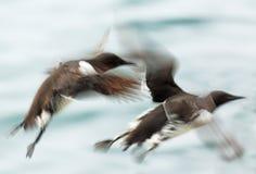 Ζευγάρι Guillemots κατά την πτήση στοκ εικόνες με δικαίωμα ελεύθερης χρήσης