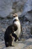 Ζευγάρι Humboldt Penguins Στοκ εικόνα με δικαίωμα ελεύθερης χρήσης