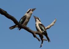Ζευγάρι Kookaburras Στοκ φωτογραφία με δικαίωμα ελεύθερης χρήσης