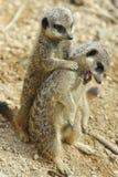 Ζευγάρι Meerkat Στοκ Εικόνες