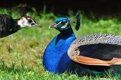 ζευγάρι peacock Στοκ Εικόνες