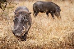 Ζευγάρι Warthogs στο εθνικό πάρκο Kruger Στοκ εικόνα με δικαίωμα ελεύθερης χρήσης
