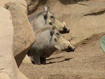 Ζευγάρι Warthogs Στοκ Φωτογραφίες